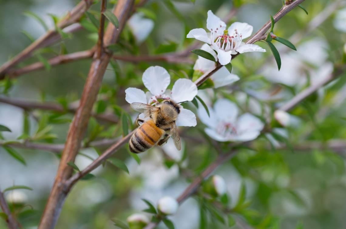 abeille-manuka