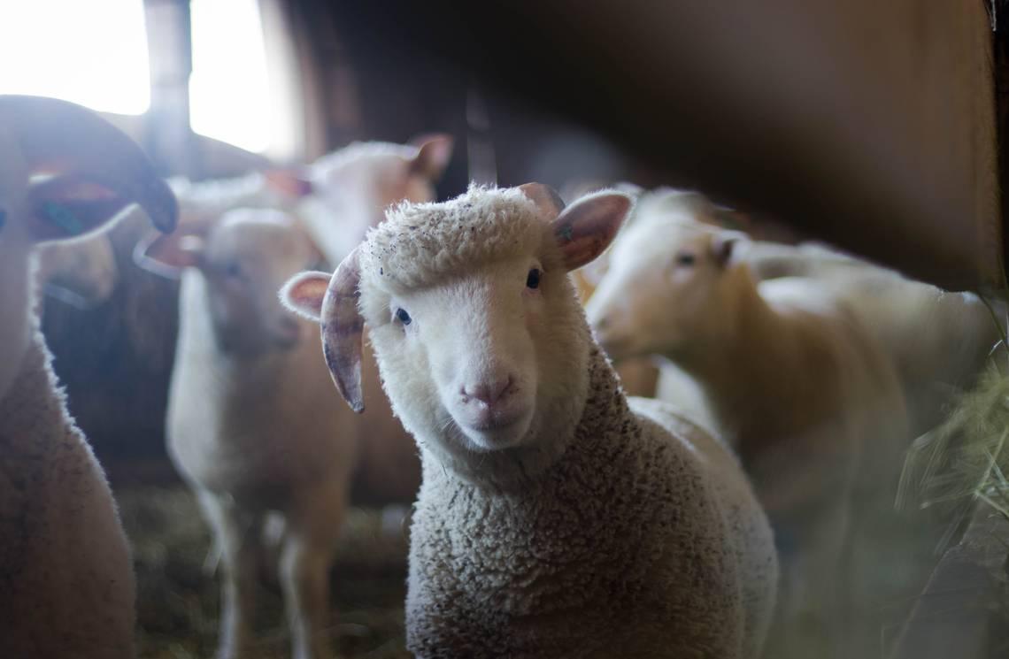 photo-mouton